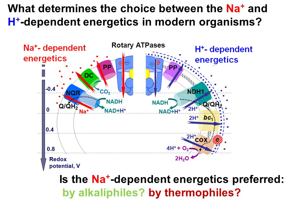 Is the Na+-dependent energetics preferred:
