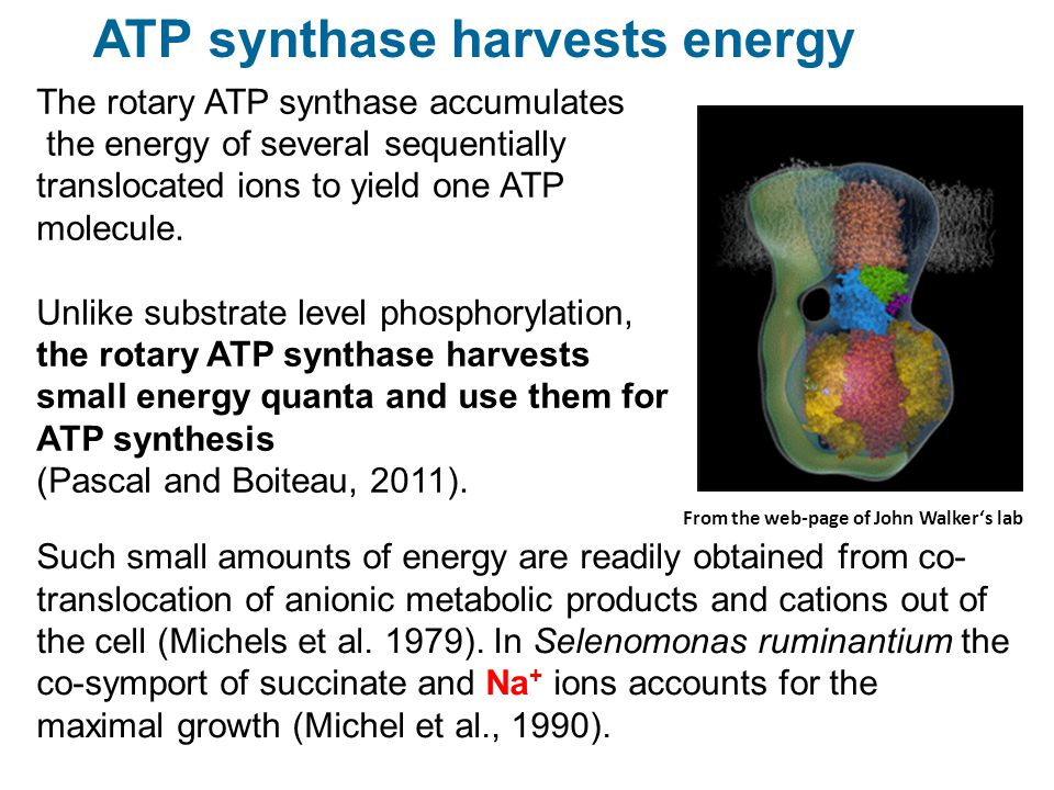 ATP synthase harvests energy