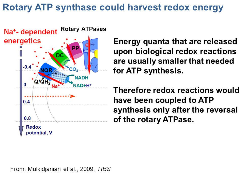 Rotary ATP synthase could harvest redox energy