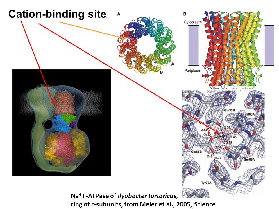 Cation-binding site Na+ F-ATPase of Ilyobacter tartaricus,
