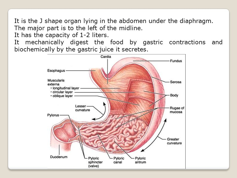 It is the J shape organ lying in the abdomen under the diaphragm.
