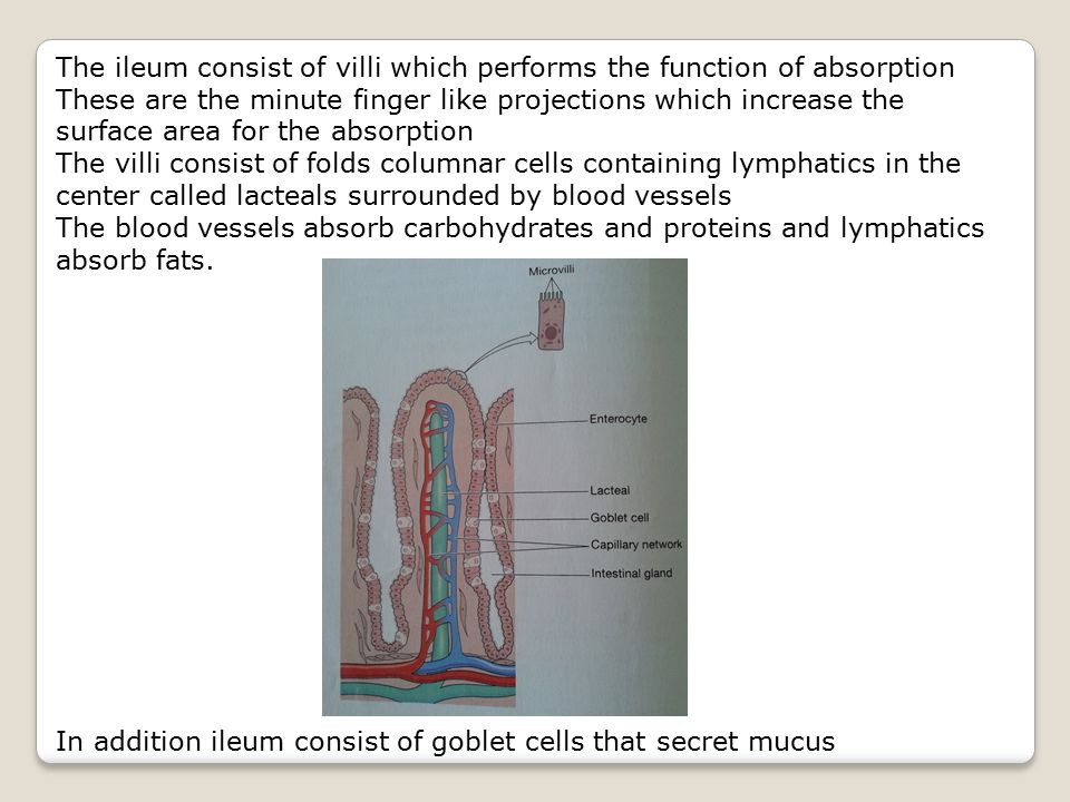 The ileum consist of villi which performs the function of absorption