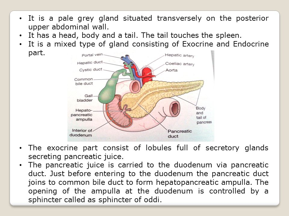 It is a pale grey gland situated transversely on the posterior upper abdominal wall.