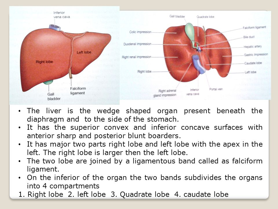 The liver is the wedge shaped organ present beneath the diaphragm and to the side of the stomach.