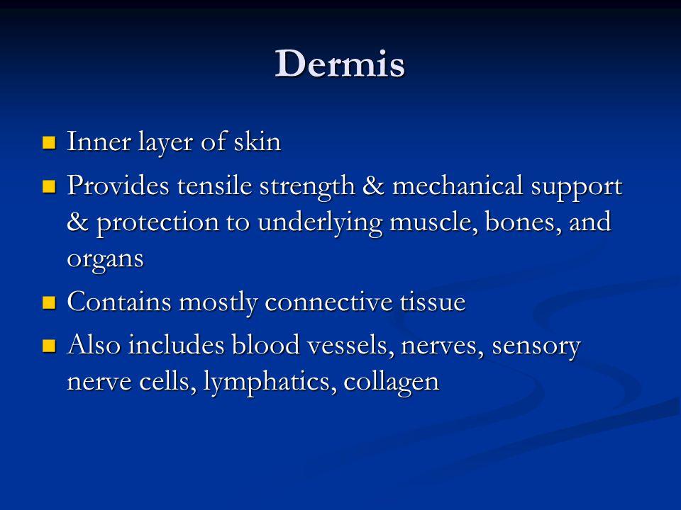 Dermis Inner layer of skin