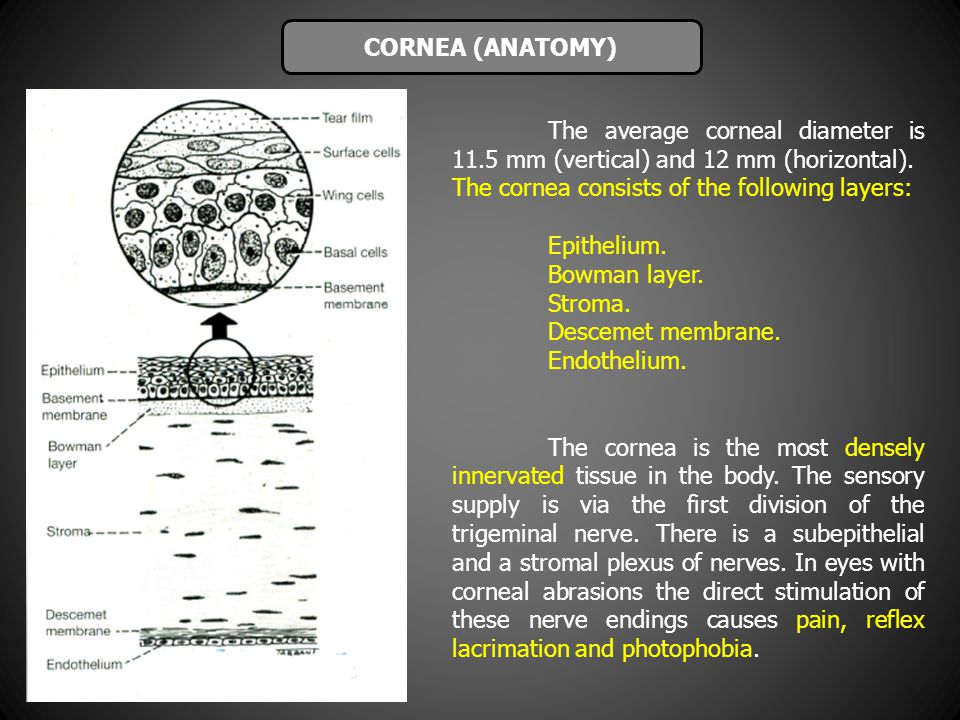 CORNEA (ANATOMY) The average corneal diameter is 11.5 mm (vertical) and 12 mm (horizontal). The cornea consists of the following layers: