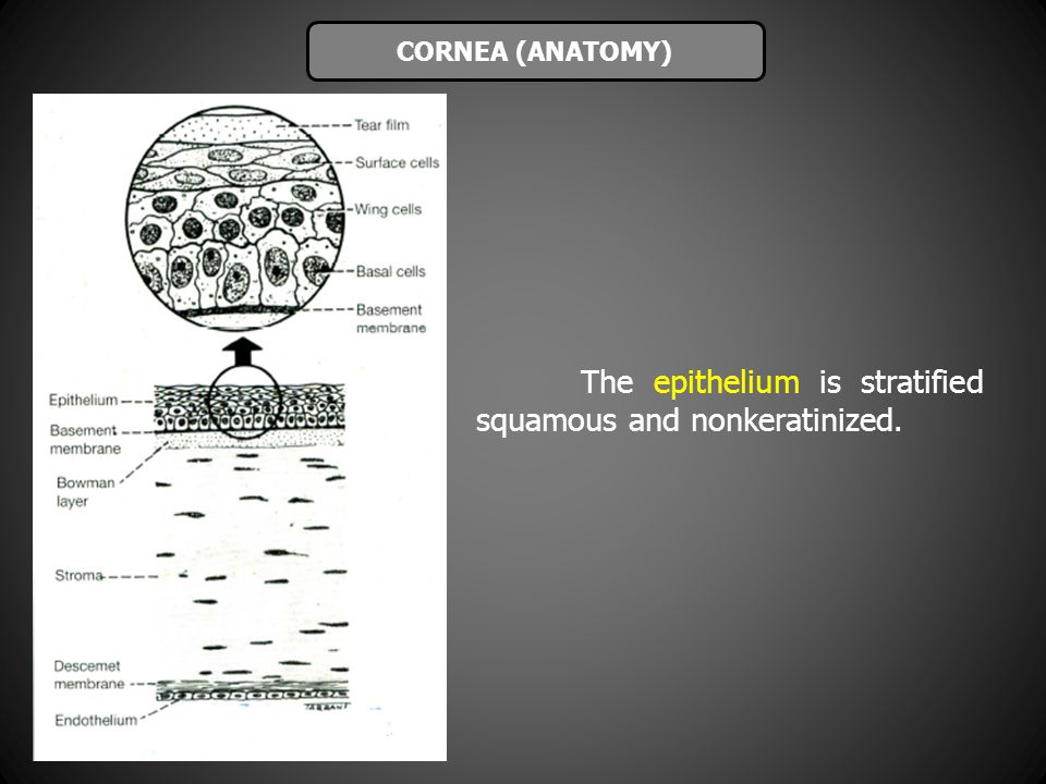 The epithelium is stratified squamous and nonkeratinized.