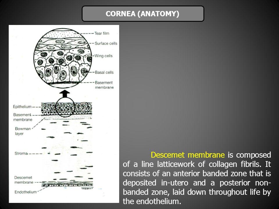 CORNEA (ANATOMY)