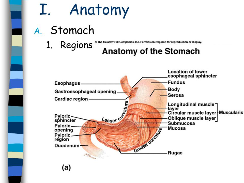 Anatomy Stomach Regions