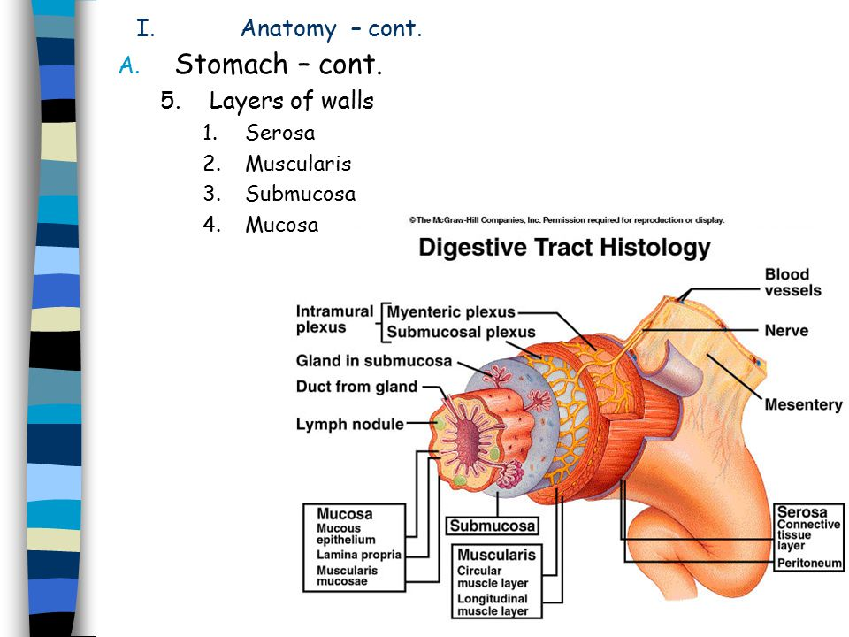 Stomach – cont. Anatomy – cont. Layers of walls Serosa Muscularis