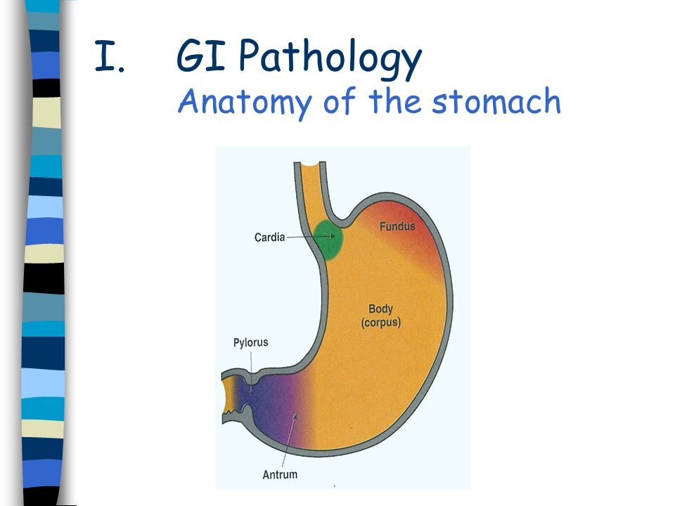 GI Pathology Anatomy of the stomach