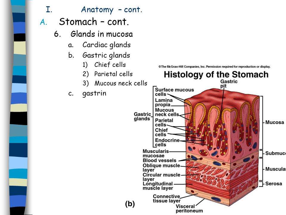 Stomach – cont. Anatomy – cont. Glands in mucosa Cardiac glands