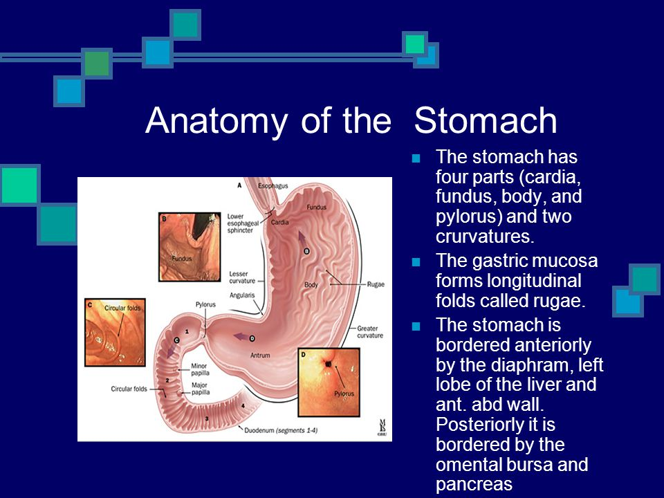 Anatomy of the Stomach The stomach has four parts (cardia, fundus, body, and pylorus) and two crurvatures.