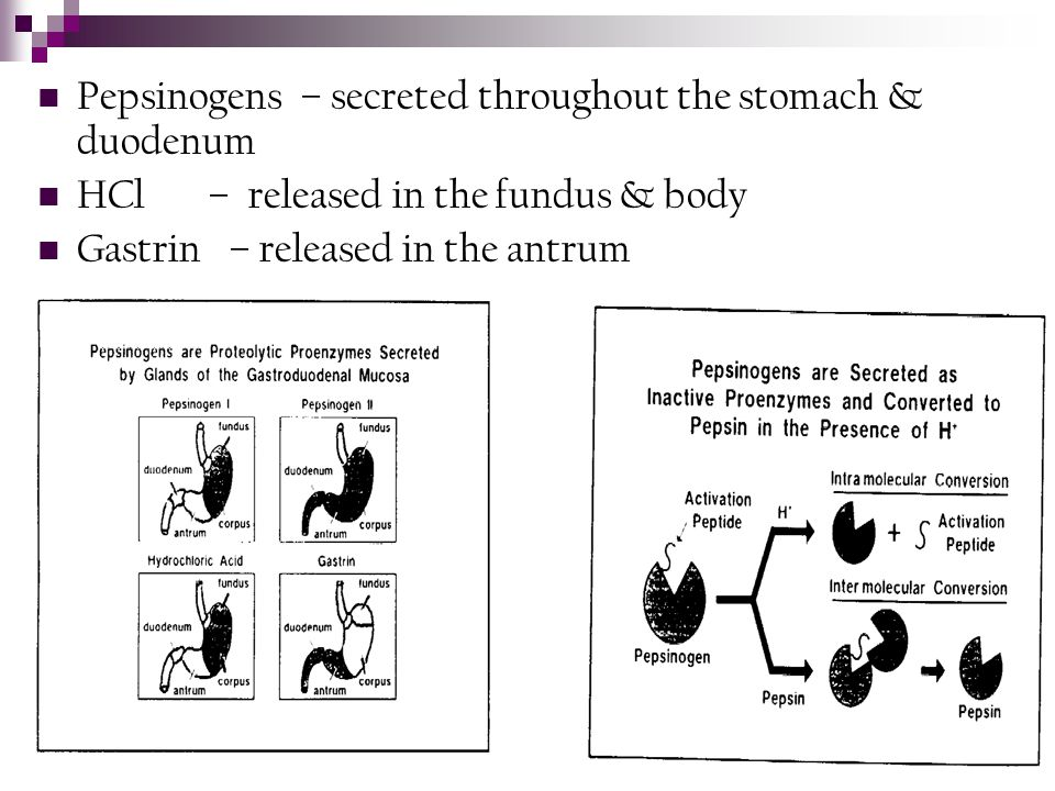 Pepsinogens – secreted throughout the stomach & duodenum
