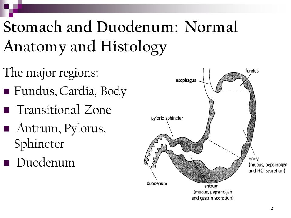 Stomach and Duodenum: Normal Anatomy and Histology