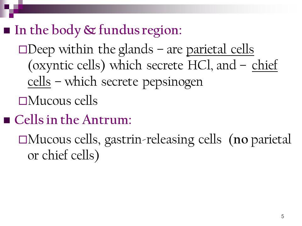 In the body & fundus region: