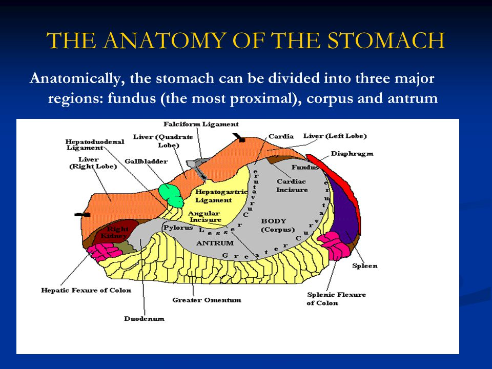 THE ANATOMY OF THE STOMACH