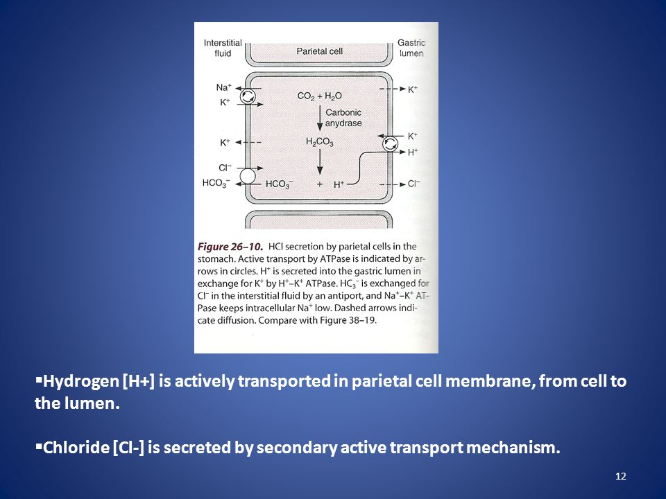 Hydrogen [H+] is actively transported in parietal cell membrane, from cell to the lumen.