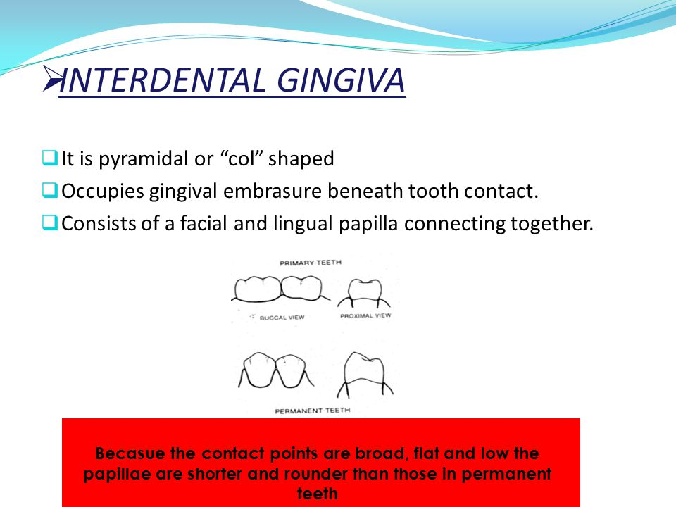 INTERDENTAL GINGIVA It is pyramidal or col shaped