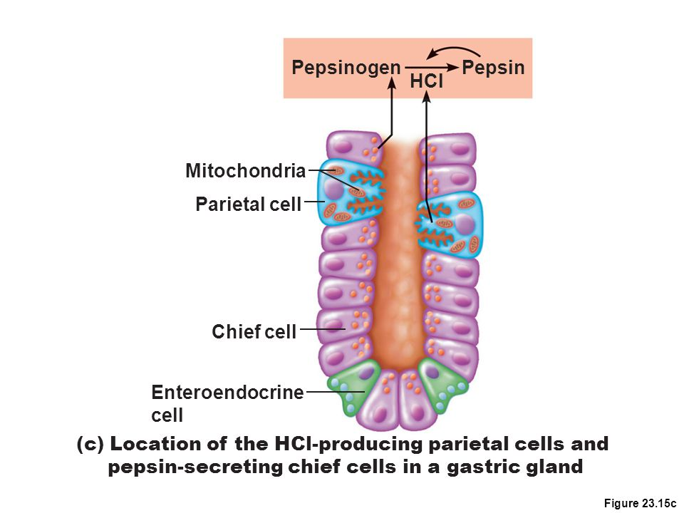(c) Location of the HCl-producing parietal cells and