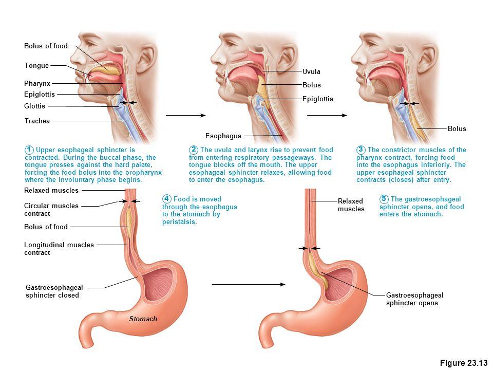 Figure 23.13 Bolus of food Tongue Uvula Pharynx Bolus Epiglottis