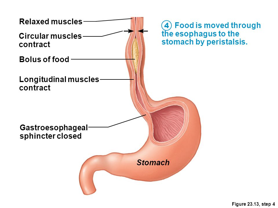 Food is moved through the esophagus to the stomach by peristalsis.