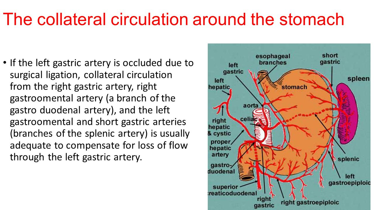 The collateral circulation around the stomach