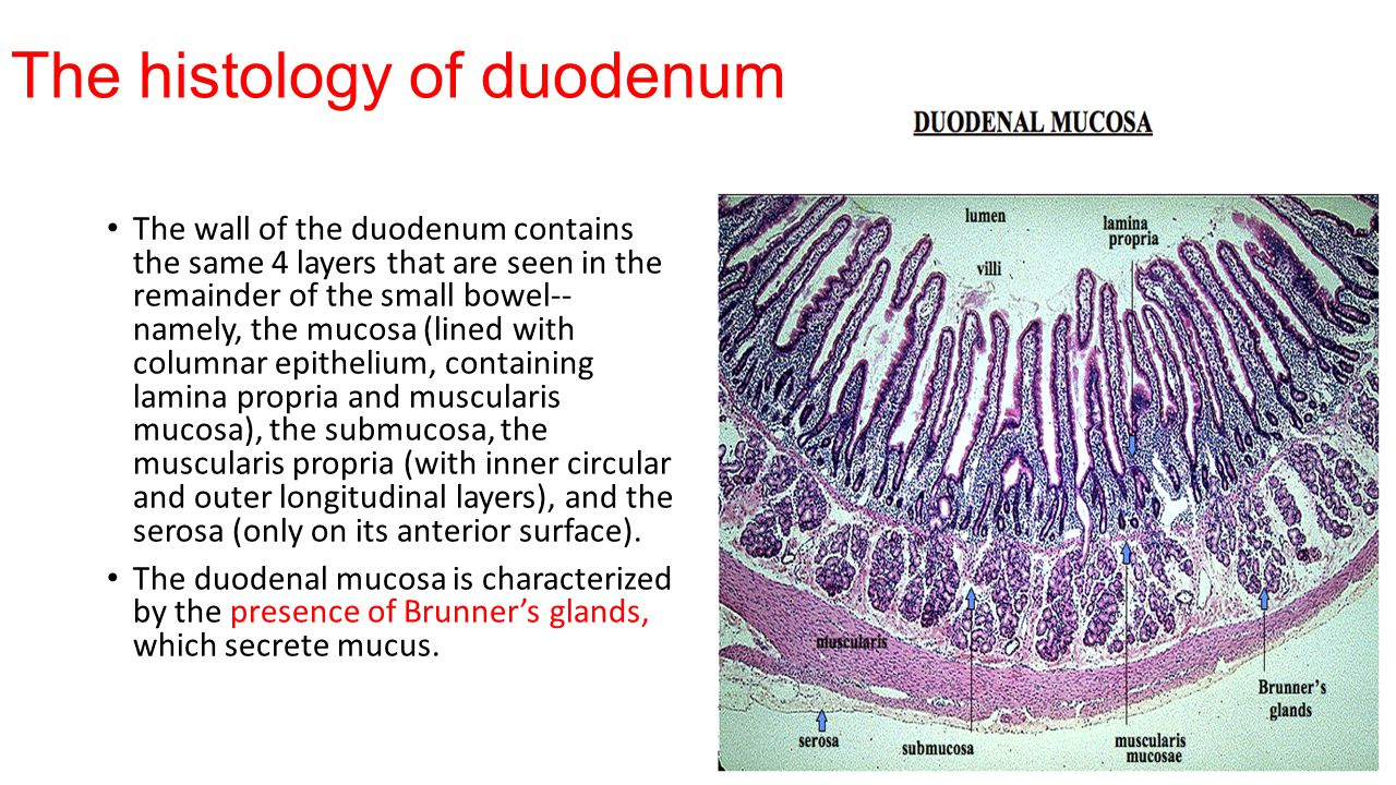 The histology of duodenum