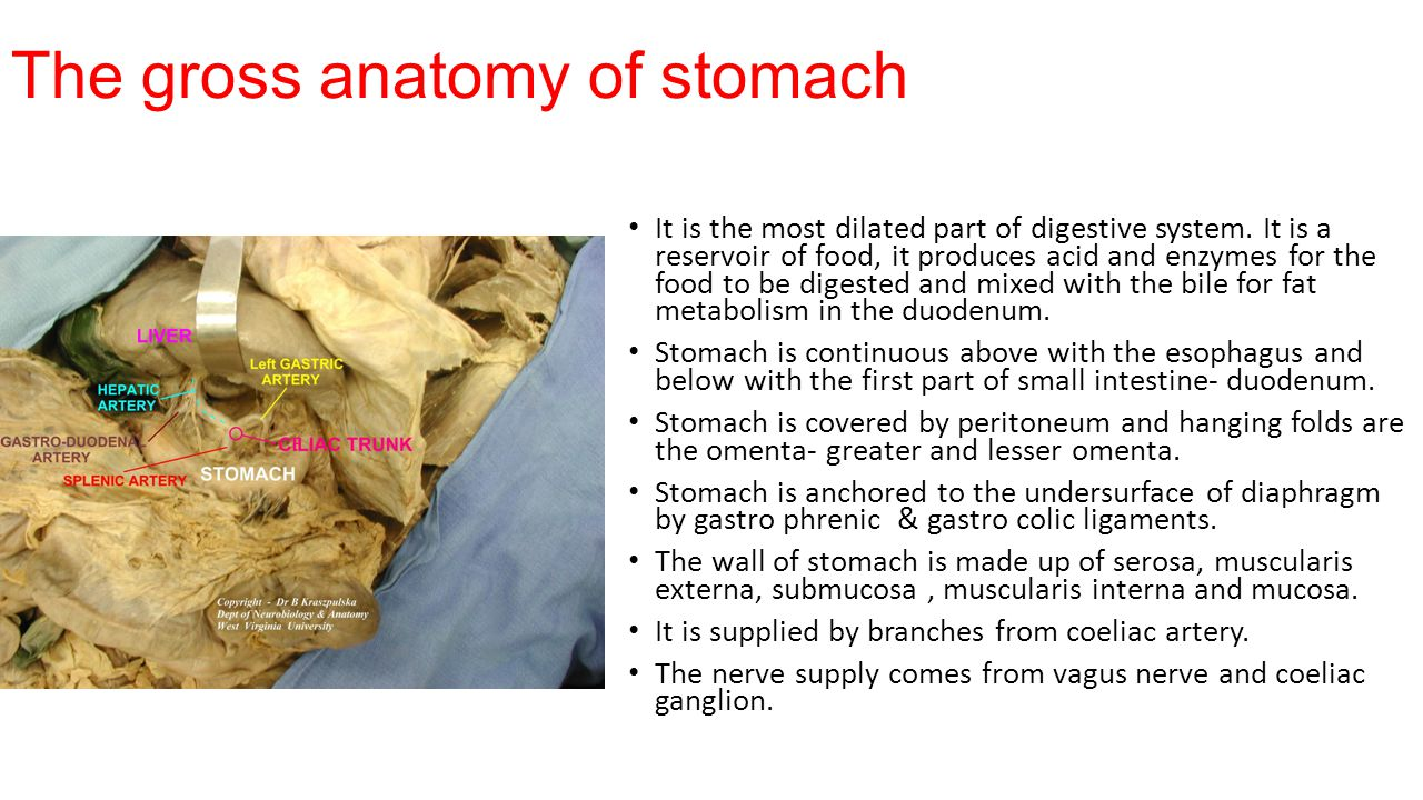 The gross anatomy of stomach