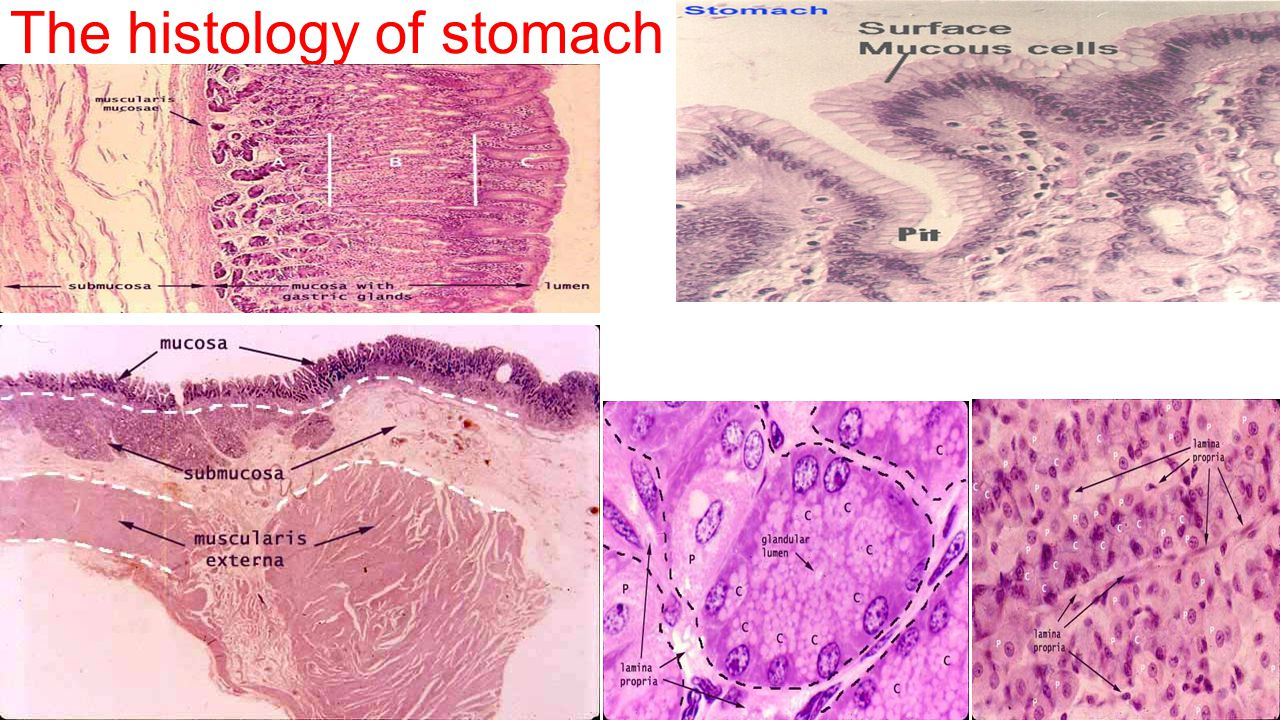 The histology of stomach
