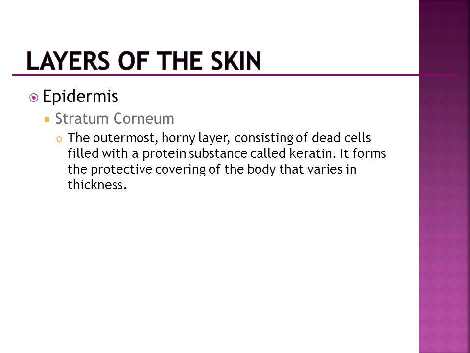 Layers of the Skin Epidermis Stratum Corneum