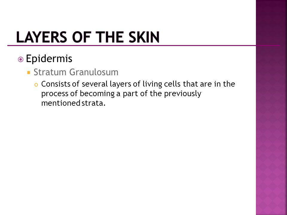 Layers of the Skin Epidermis Stratum Granulosum