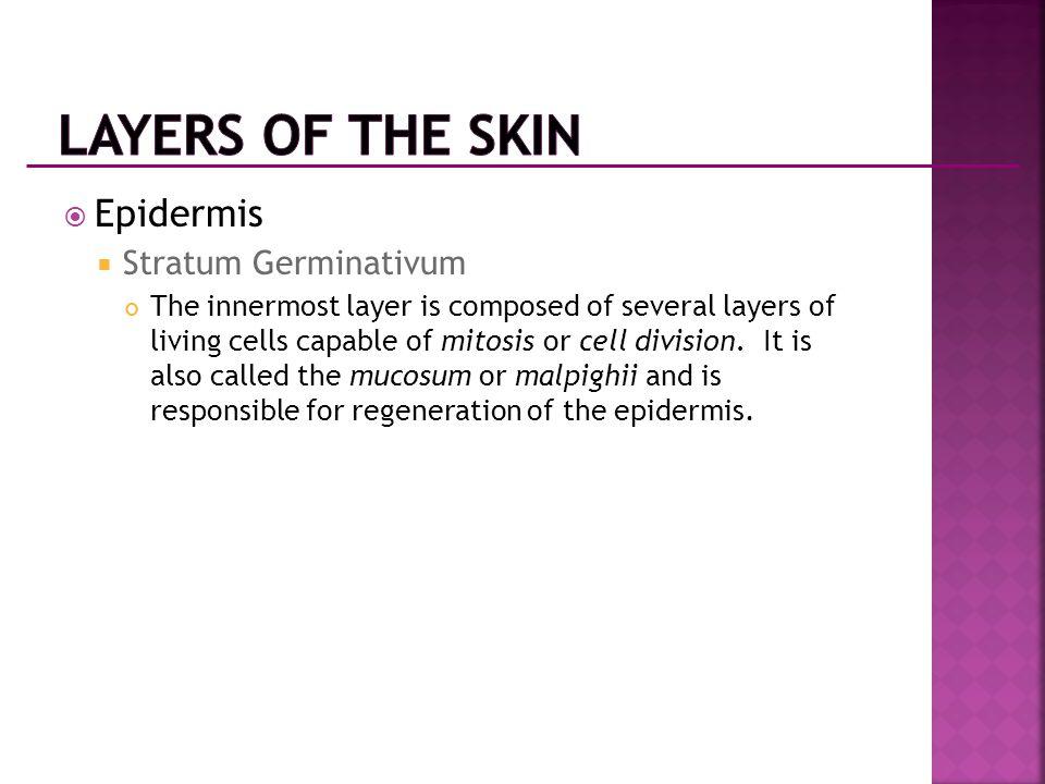 Layers of the Skin Epidermis Stratum Germinativum