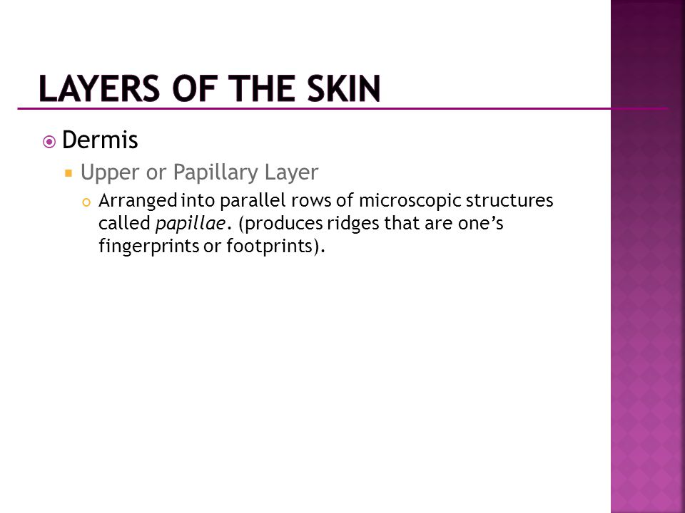 Layers of the Skin Dermis Upper or Papillary Layer