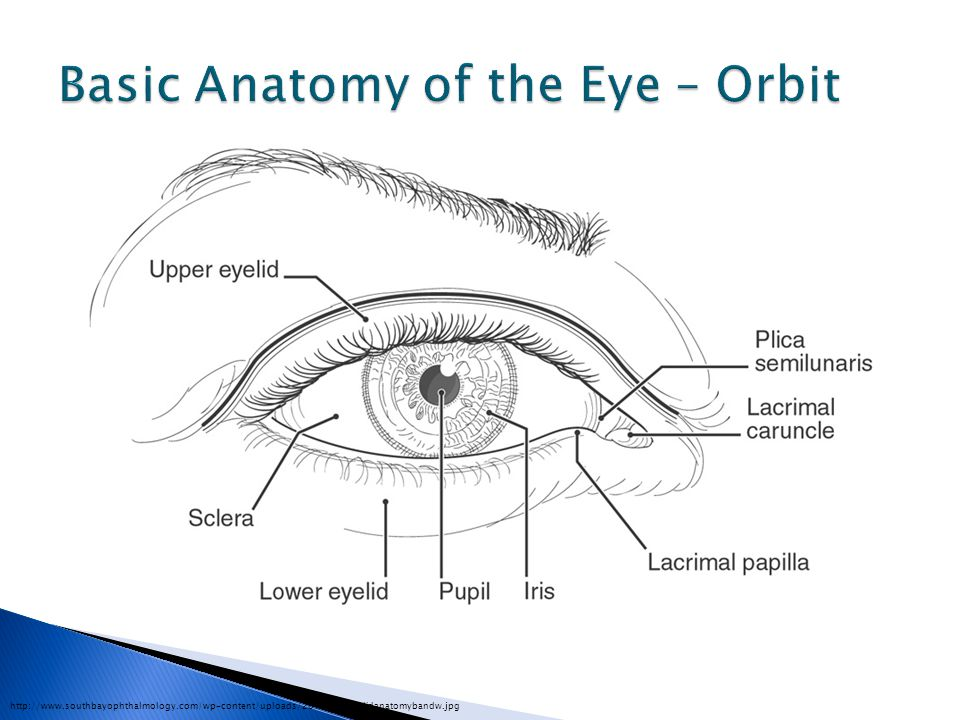 Basic Anatomy of the Eye – Orbit