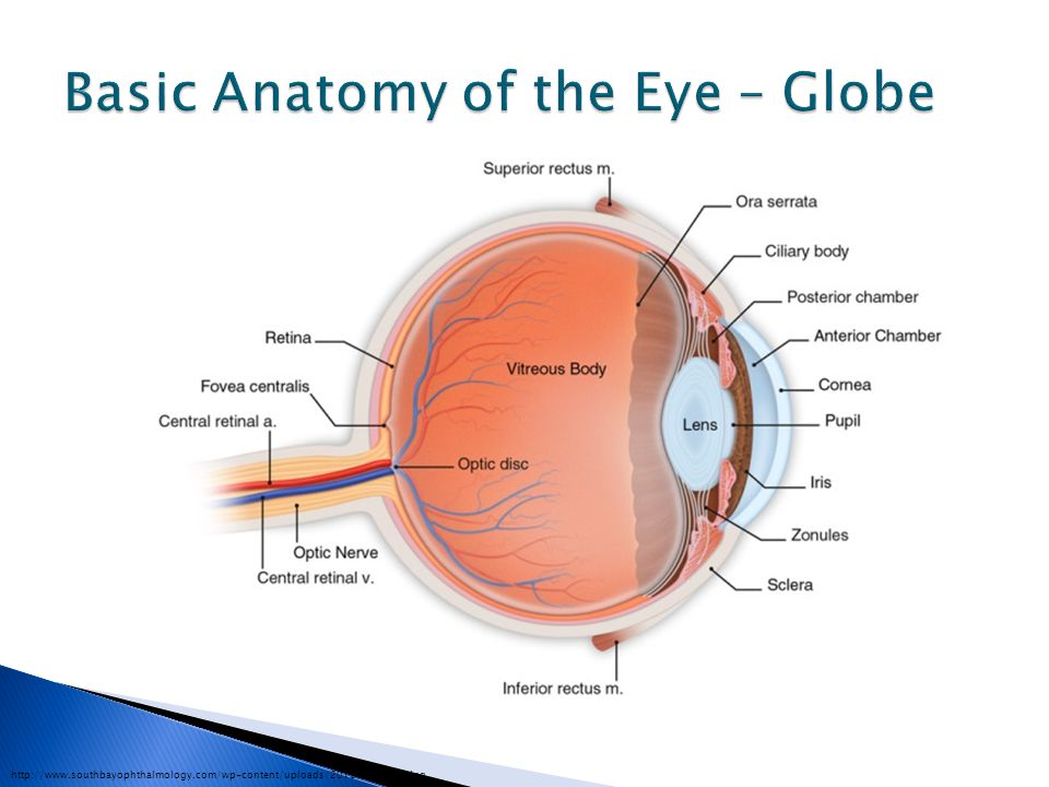 Basic Anatomy of the Eye – Globe
