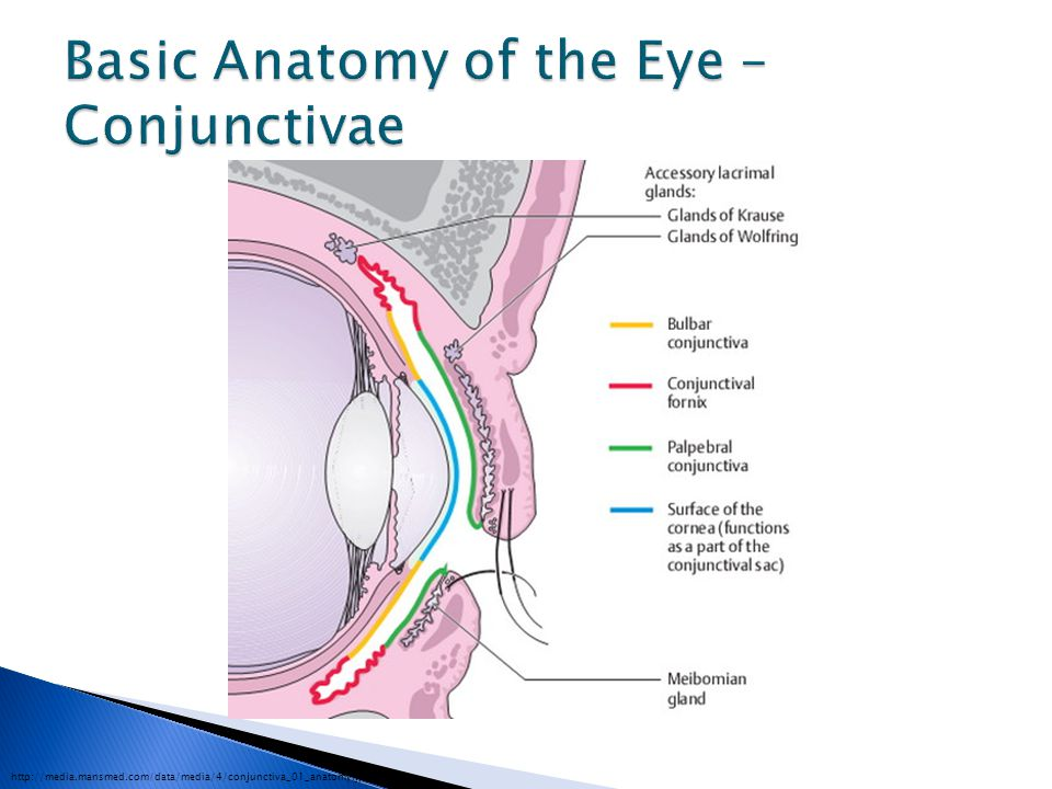Basic Anatomy of the Eye – Conjunctivae