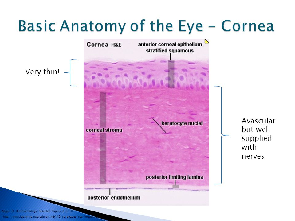 Basic Anatomy of the Eye - Cornea