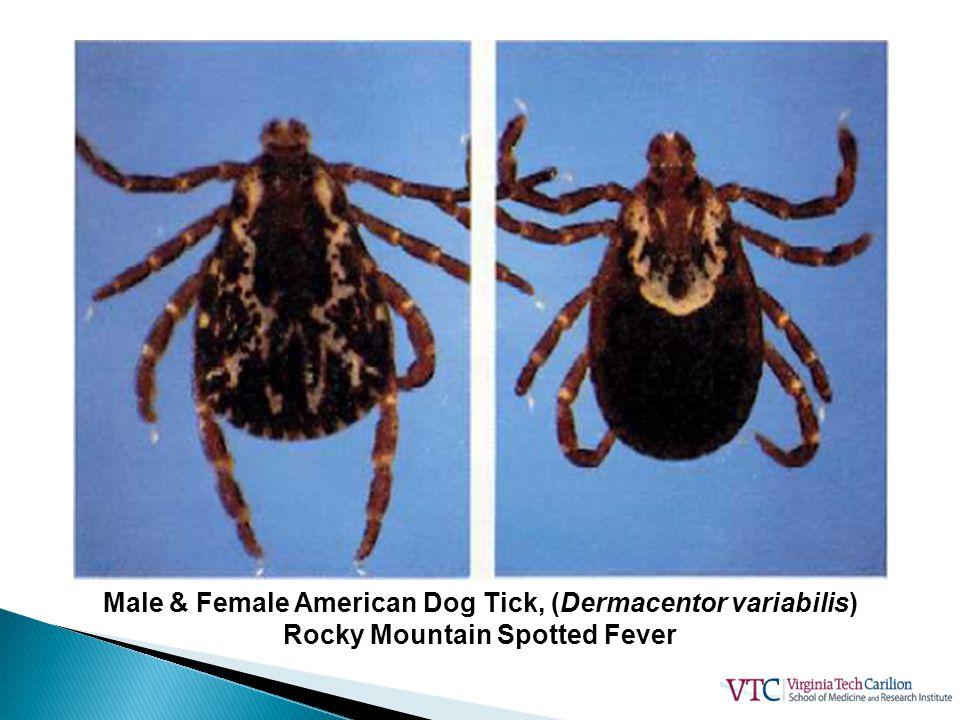 Male & Female American Dog Tick, (Dermacentor variabilis)