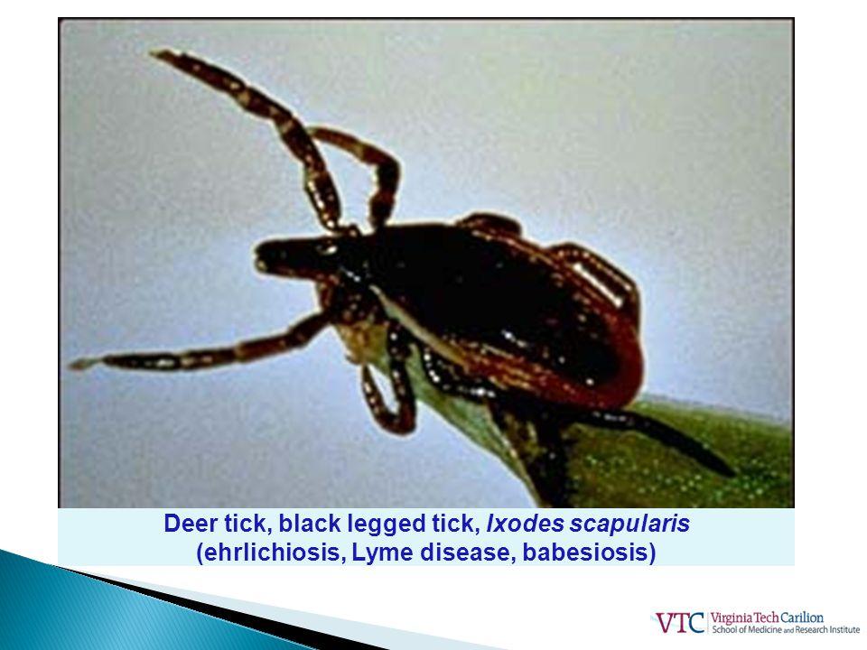 Deer tick, black legged tick, Ixodes scapularis