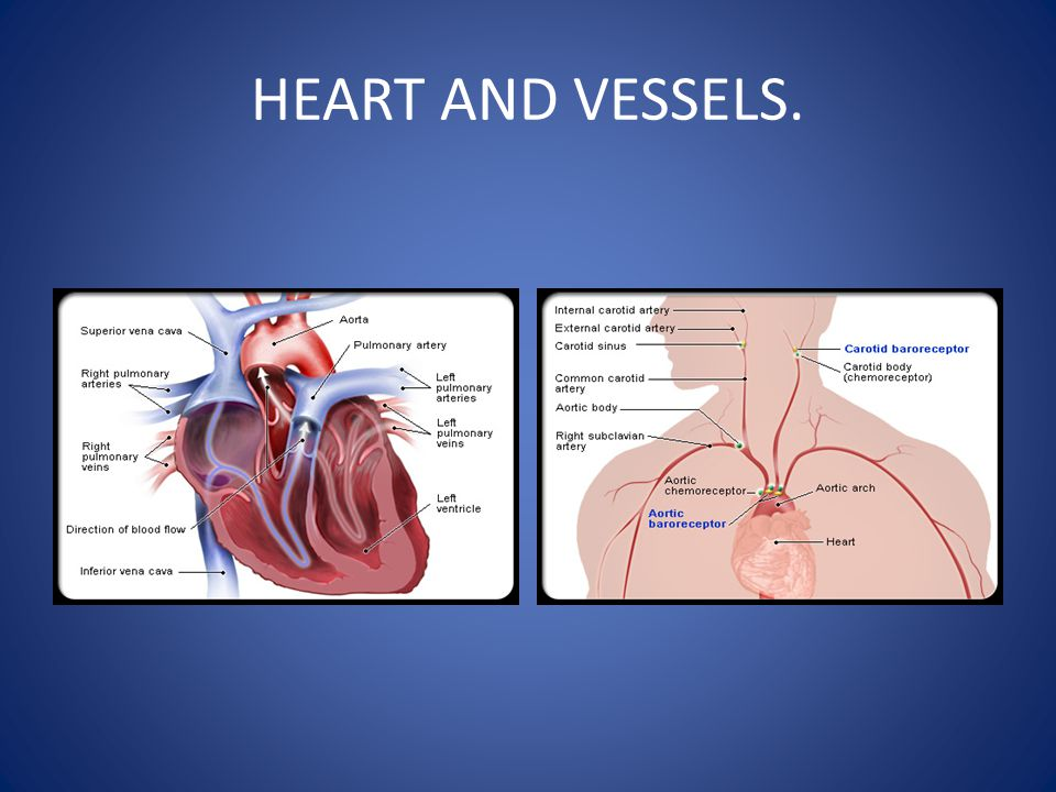 HEART AND VESSELS.