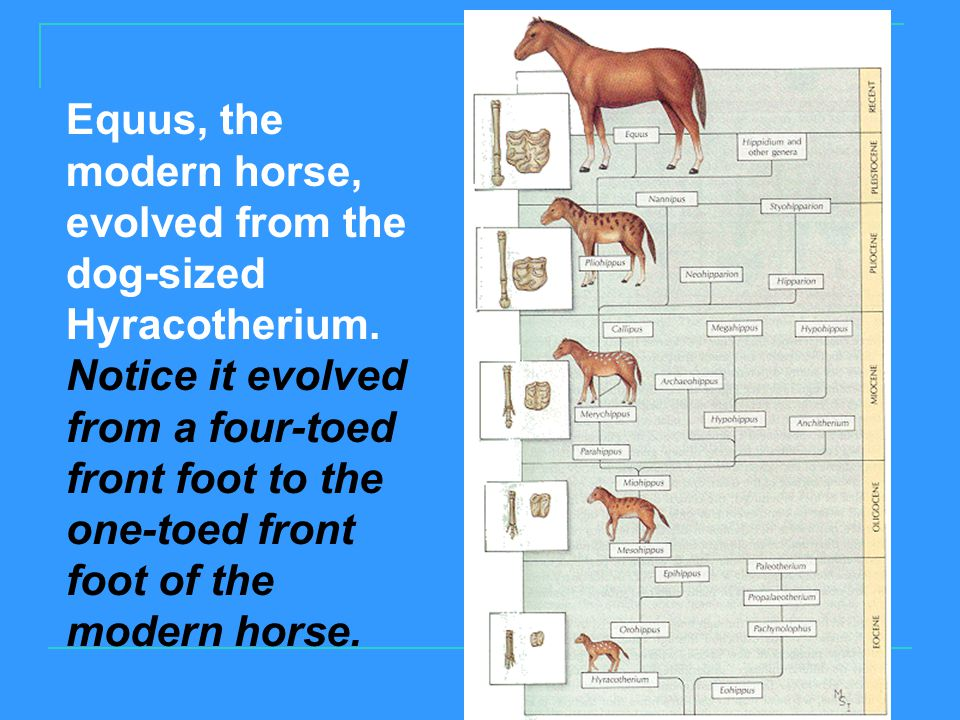 Equus, the modern horse, evolved from the dog-sized Hyracotherium