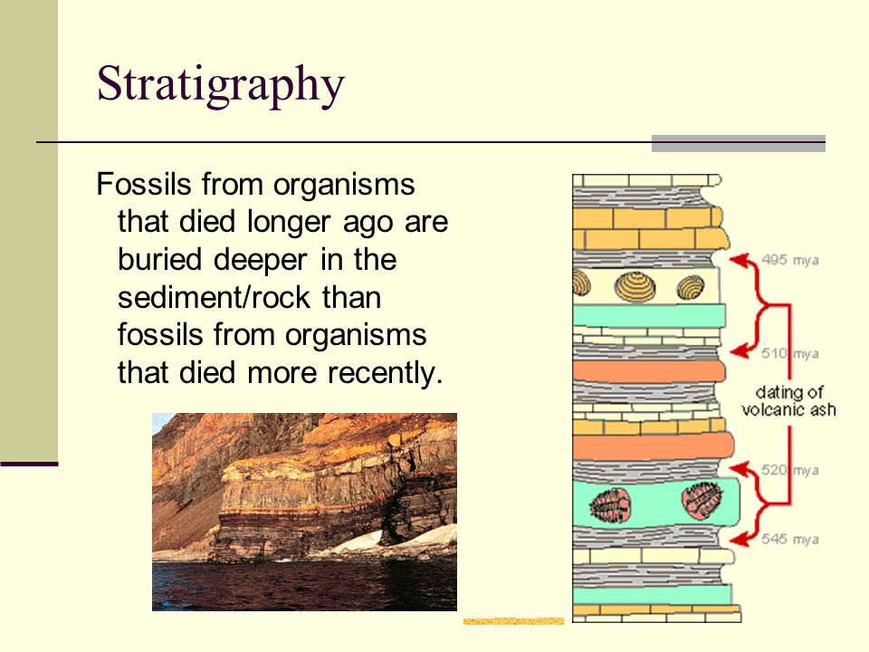 Stratigraphy Fossils from organisms that died longer ago are buried deeper in the sediment/rock than fossils from organisms that died more recently.