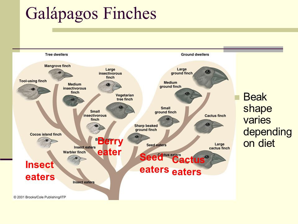 Galápagos Finches Beak shape varies depending on diet Berry eater