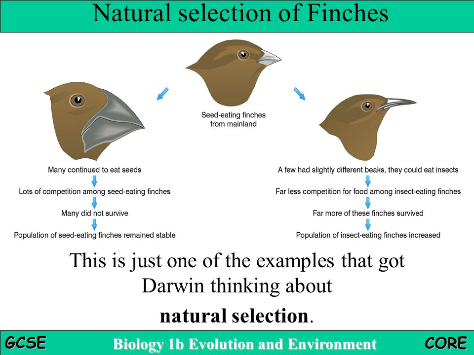 examples of natural selection biology Explore natural selection by controlling the environment and causing mutations in bunnies.