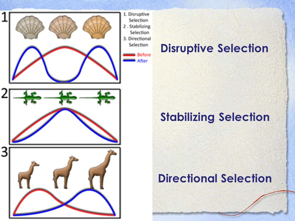 Disruptive Selection Stabilizing Selection Directional Selection