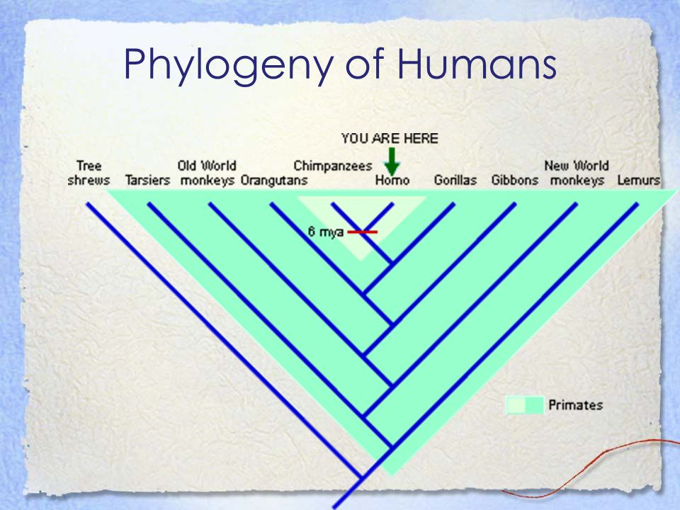 Phylogeny of Humans