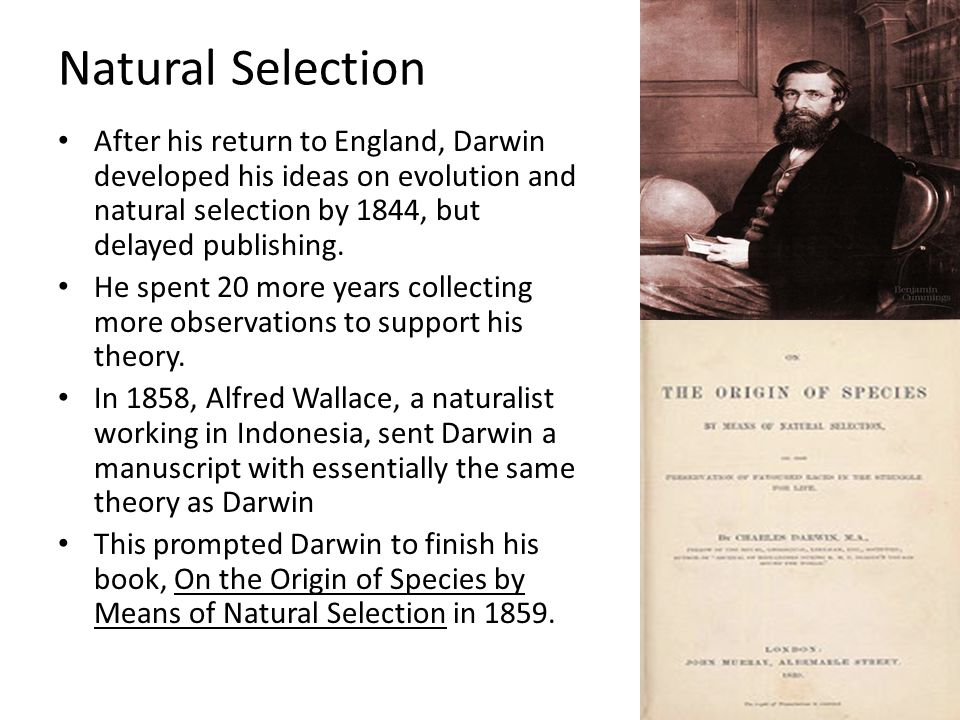 Natural Selection After his return to England, Darwin developed his ideas on evolution and natural selection by 1844, but delayed publishing.