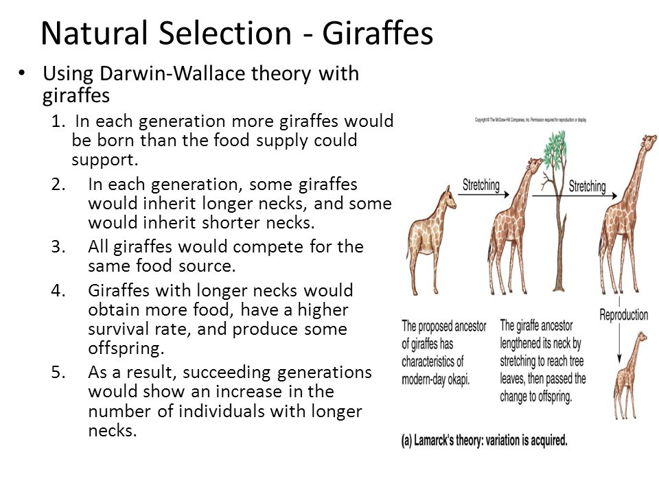 Natural Selection - Giraffes