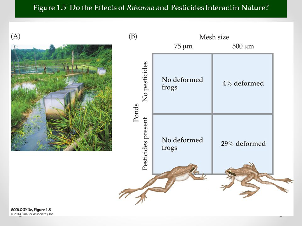 Figure 1.5 Do the Effects of Ribeiroia and Pesticides Interact in Nature
